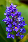 Blue Ginger, Hawaii Tropical Botanical Garden, Onemea, Hamakua coast, Island of Hawaii