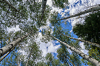 Looking to the sky through summer aspen trees [Populus tremuloides];   Owl Creek Pass, Colorado