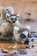 Ring-tailed Lemur<br /> Lemur catta<br /> Mother drinking with 1-2 week old baby on back<br /> Berenty Private Reserve, Madagascar