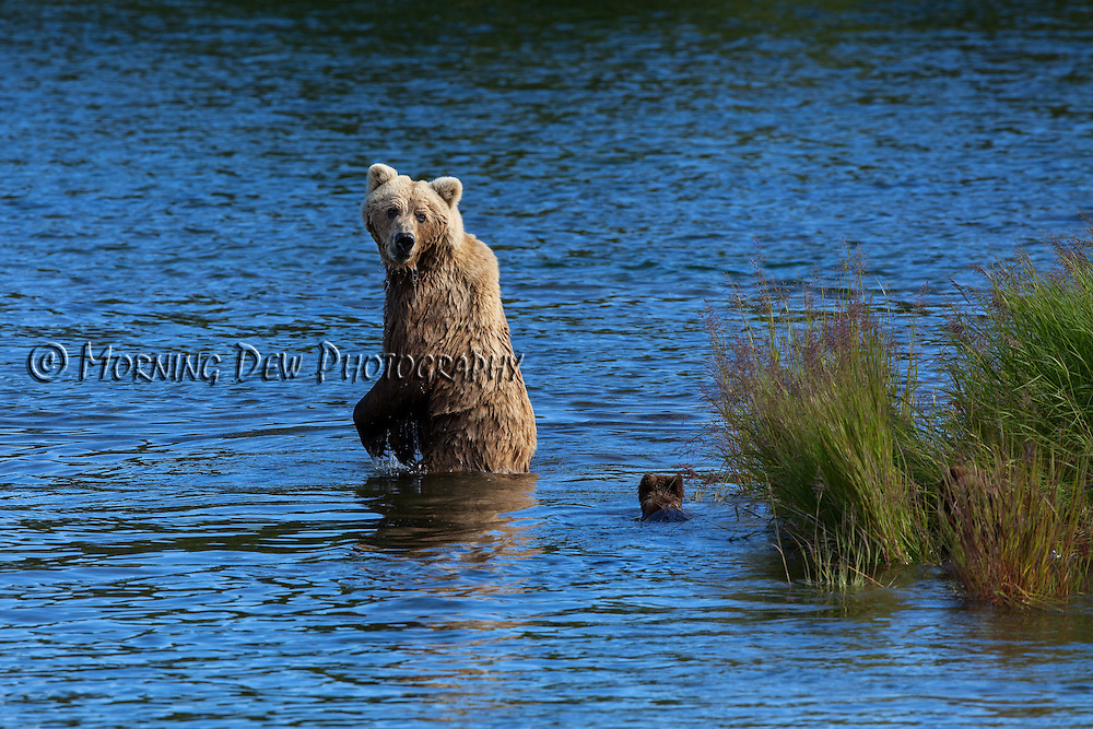 A mother brown bear looks back to check on her cubs while crossing Brooks River, Katmai National Park, Alaska