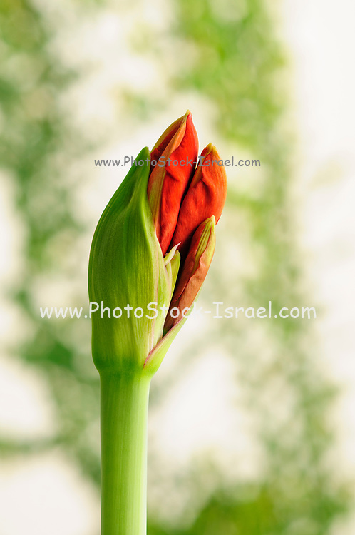 flowering red Hippeastrum flower. (Sometimes called incorrectly, amaryllis). emerging from the bud. Photographed in Israel in March