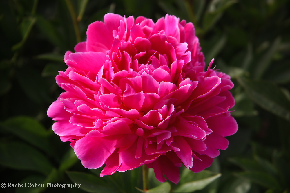 &quot;Peony Flame&quot; 2<br /> <br /> Wonderful brilliant Peony in fuchsia!!<br /> <br /> Flowers by Rachel Cohen
