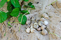 Unhatched turtle eggs excavated from a nest, Sangalaki, Kalimantan, Indonesia. The nests are excavated to determine the percentage of eggs that hatched. Sangalaki is part of the Derawan Island group, off East Kalimantan.  The island is famous for its reefs, manta rays and cuttlefish, and as an important nesting site for the endangered green turtle.  Sangalaki was a popular tourist destination, until the Indonesian government closed down access to the island in 2009.