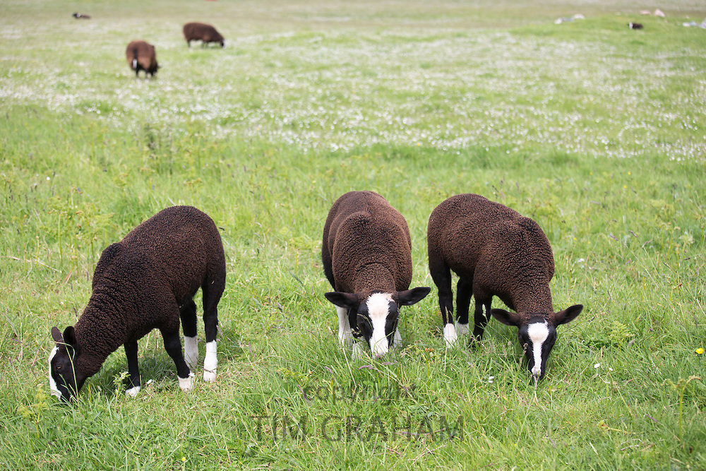 Flock of sheep, Ovis aries, likely  Balwen or Zwartbles breed, grazing in meadow on Isle of Iona in the Inner Hebrides and Western Isles, Scotland