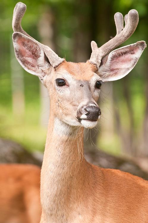 White-tailed deer, buck in velvet, Odocoileus virginianus, Sandstone, Minnesota, USA