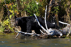 American black bear (Ursus americanus) along the banks of the Kenai River, Kenai National Wildlife Refuge, Alaska, United States of America