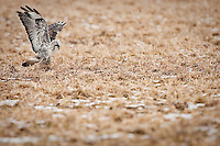 JEROME A. POLLOS/Press..A rough-legged hawk captures its prey Wednesday on the Rathdrum Prairie.