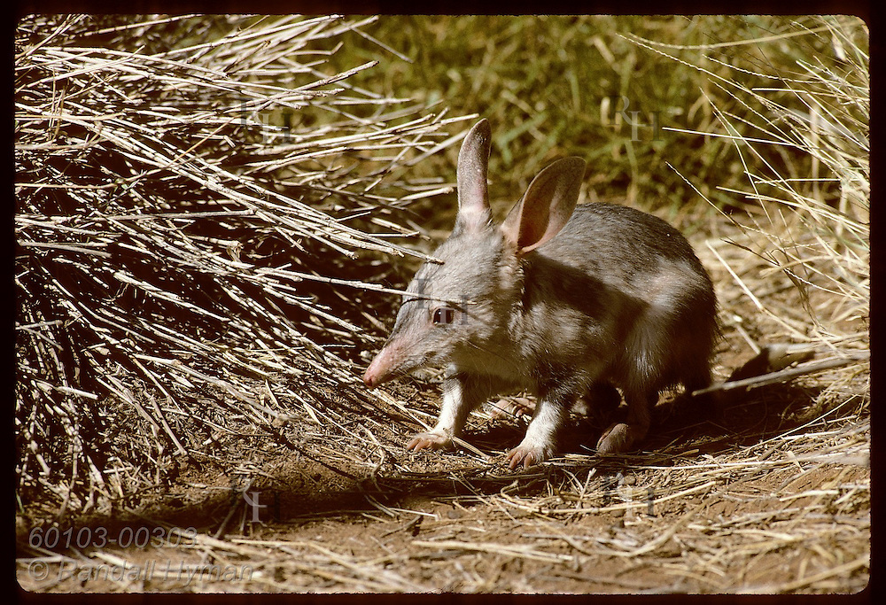 Rabbit-eared bandicoot, or bilby, pauses by spinifex grass in pen @ Conserv Commssn of NT in Alice Australia