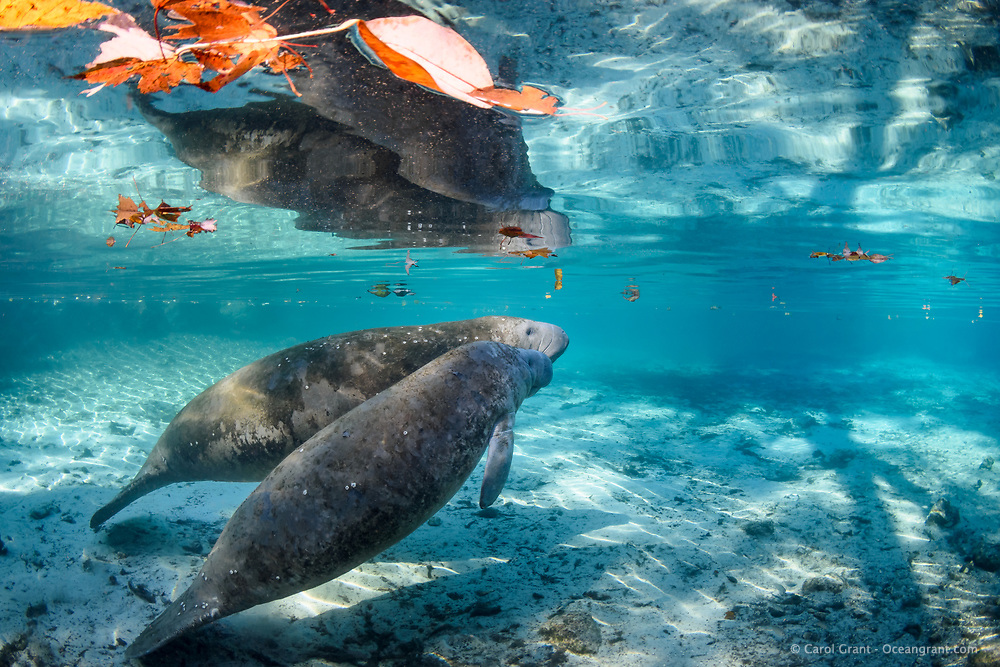 Another recent image from the 2017/2018 winter season. Manatee calves stay with their mothers for nearly two years and this calf is big enough to be near weaning. They learn everything from her, including the best times to surface for a breath. Being very curious creatures they investigate their environment. Barnacles indicate this pair is a recent arrival to the freshwater springs. The barnacles will fall off in the fresh water environment and become food for anhinga and various other creatures. This is a peek at an undisturbed, natural behavior while this manatee winters in the freshwater springs. Florida manatee, Trichechus manatus latirostris, a subspecies of the West Indian manatee, endangered. Three Sisters Springs, Crystal River National Wildlife Refuge, Kings Bay, Crystal River, Citrus County, Florida USA. IUCN Red List: Endangered. USFWS implemented downlisting to Threatened 2017: http://www.iucnredlist.org/details/22106/0. Taken under USFWS SUP Permit