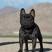 French Bulldog 01/2018