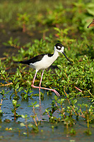Black-necked Stilt (Himantopus mexicanus),  Green Cay Nature Are   Photo: Peter Llewellyn