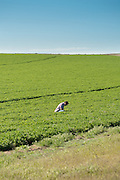 Jake Madison of Madison Farms in Echo, Oregon inspects a field of alfalfa.