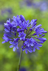 Agapanthus 'Brilliant Blue'. African lily