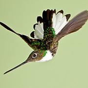 Collaard Inca hummingbird