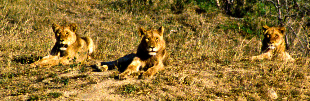 The lions on the ridge from the Battle at Kruger, Kruger National Park, South Africa