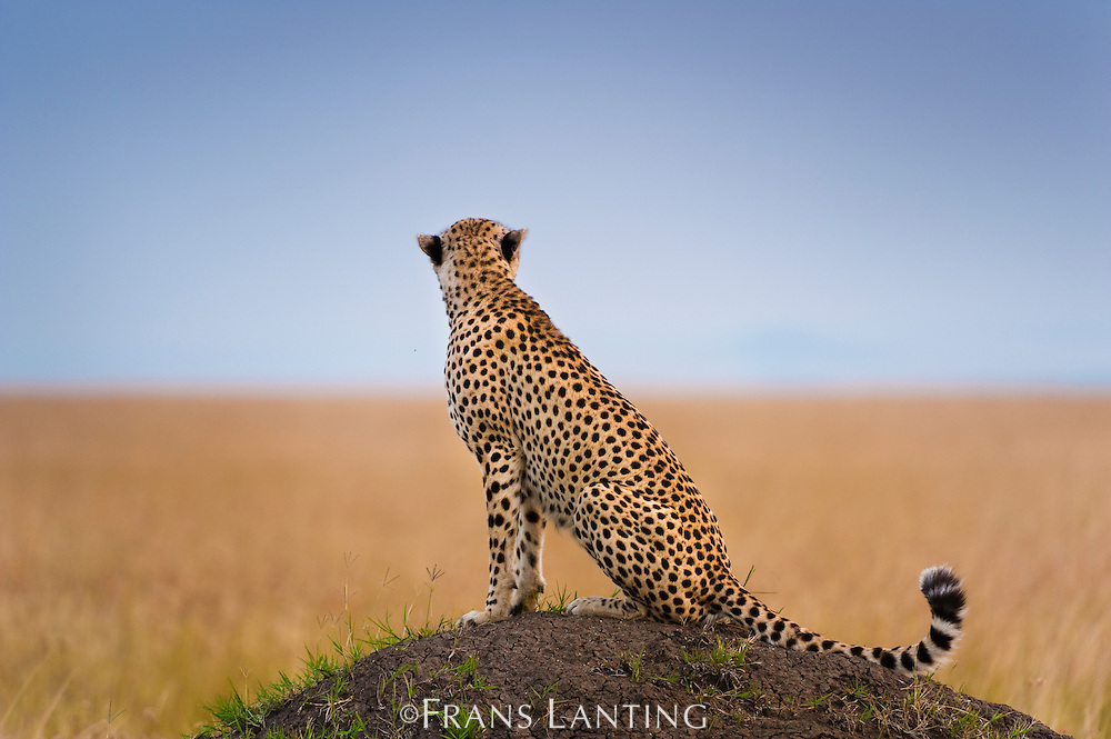 Cheetah on termite mound, Acinonyx jubatus, Masai Mara National Reserve, Kenya