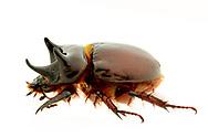 Ox Beetles (Strategus antaeus) male<br /> United States: Alabama: Tuscaloosa Co.<br /> Tulip Tree Springs off Echola Rd.; Elrod<br /> 2-Jul-2017<br /> J.C. Abbott #2964
