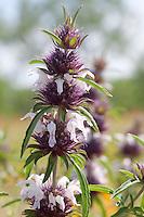 Plains Horsemint, (Monarda citriodora)  Llano County, Texas