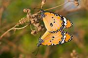 Plain Tiger (Danaus chrysippus) AKA African Monarch Butterfly shot in Israel, Summer August