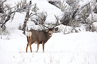 When the snow gets deep the Mule Deer have only one choice and that is to move down from the backcountry to the lower levels and into farmers fields now they have to deal with not only snow but farmers field fences which can be just as much of an obstacle 2017.