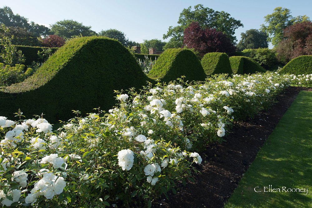 Rosa 'Iceberg'  white roses growing in a bed next to Yew topiary at Houghton Hall, King's Lynn, Norfolk, UK