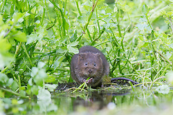 © under license to London News Pictures. 04/09/13 Kent UK. A water vole eats on a river bank. Photographer Ian Schofield sat in a river for over 12 hours wearing waders along with his camera and tripod to capture these stunning shots of one of Britain's rarest animals, the water vole. He waited from 7am before a flurry of activity at lunchtime when one of the most endangered mammals in the UK became hungry and left its burrow. Nearly 90% of water voles have disappeared in the last decade from the UK, mainly due to habitat loss and predators such as the American mink. The water vole's habitat can be found throughout England, Wales and Scotland. Photo credit should read IAN SCHOFIELD/LNP<br />