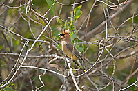 A Cedar Waxwing alerted by another adult Waxwing has flared its crest as a signal to the other bird.
