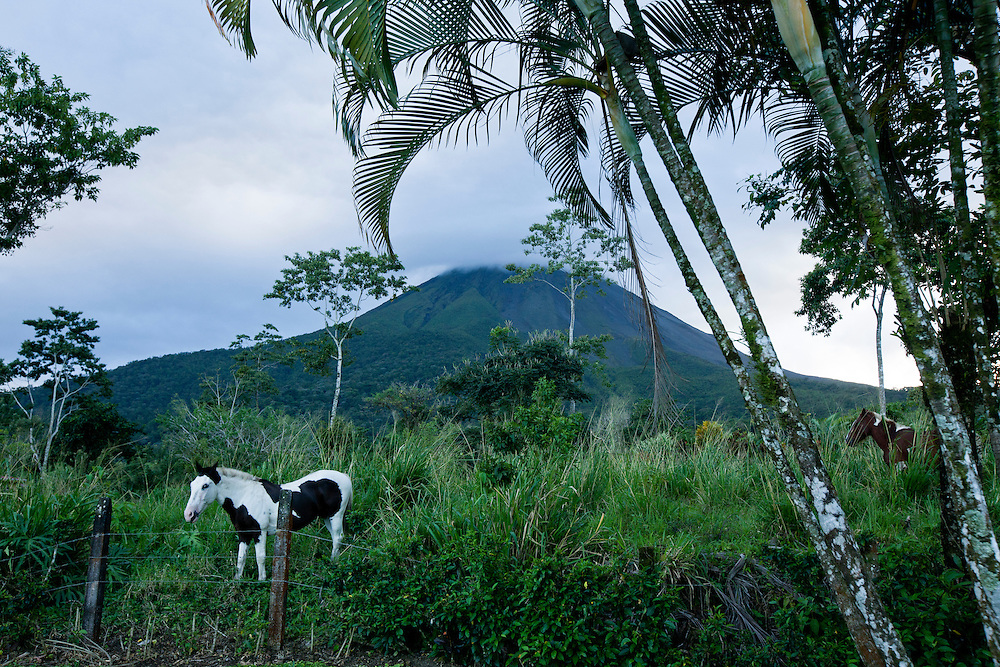 Costa Rica, La Fortuna, Horses standing beneath palm trees on ranch at base of Arenal Volcano on overcast evening