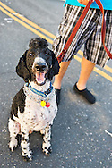 Sept. 9, 2012 - Merrick, New York, U.S. -  BUCCO SZCZECH, 2 - a PartiPoodle dog named after NYC Firefighter 9/11 Hero Ronald Bucco - and his firefighter father came color-coordinated to the 22nd Annual Merrick Festival on Long Island, hosted by Merrick Chamber of Commerce.