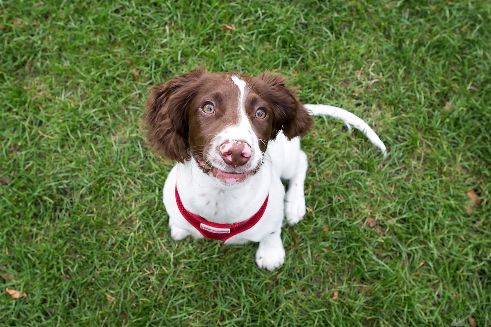 Local dogs in London - this is Roxie, a springer spaniel puppy
