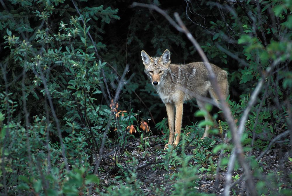 Cojote, (Canis latrans).Canada