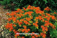 63821-05605 Butterfly Milkweed (Asclepias tuberosa) Marion Co. IL