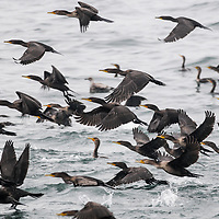 Double-crested cormorants (Phalacrocorax auritus) in the Bay of Fundy, Canada.
