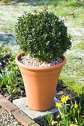 Box ball in terracotta pot in winter. Buxus sempervivens