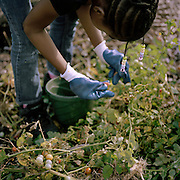 Dayuana Broggins picks cherry tomatoes at the Urban Creators community farm in North Philadelphia PA. Photo by Lori Waselchuk. 2014.