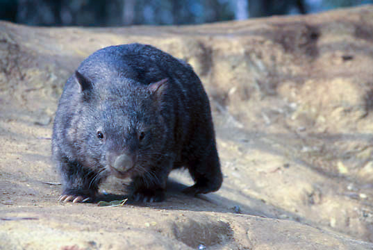 Common Wombat, (Vombatus ursinus) Southern Australia.   Captive Animal.