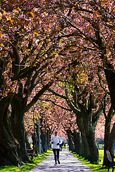 Edinburgh, Scotland, UK. 21April 2020. Warm sunny weather in Edinburgh. Woman exercising during coronavirus lockdown by running along footpath lined with cherry blossom trees in The Meadows park in Edinburgh.  Iain Masterton/Alamy Live News