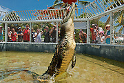 """Smiley"" the Cuban Crocodile leaps for a chicken dinner at the Turtle Farm, Grand Cayman.  Smiley was a stray who showed up in Grand Cayman and was subsequently captured for public safety."