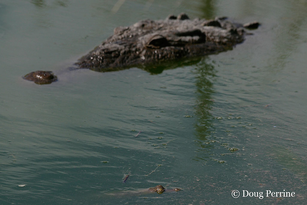 baby and adult American crocodiles or estuarine crocodile, Crocodylus acutus ( Endangered Species ), Northern Caye, Lighthouse Reef Atoll, Belize, Central America