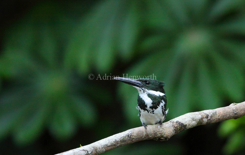 Female Amazon Kingfisher (Chloroceryle amazona), Tortuguero National Park, Costa Rica. <br />