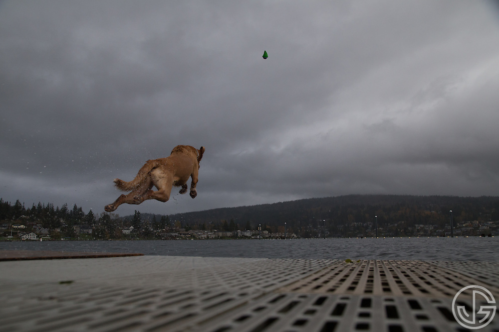A golden retriever jumps off a dock into Lake Whatcom at Bloedel Donovan Park in Bellingham, Washington, Sunday, November 9, 2014.