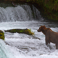 USA, Alaska, Katmai. Brown bear at Brooks Falls, Katmai National Park.