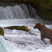 USA, Alaska, Katmai. Brown bear at Brooks Falls, Katmai National Park.
