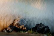 Der Königspinguin (Aptenodytes patagonicus) brütet sein Ei unter einer Hautfalte auf den Füßen liegend aus. Der langen Brutdauer von 53 bis 55 Tagen folgt noch die ungewöhnlich lange Jungenaufzucht von 10 bis 13 Monaten.    Balancing the single egg on its feet the king penguin (Aptenodytes patagonicus) breeds for 53 to 55 days. The hatched chick stays with the parents for another unusual ling period of 10 to 13 months.