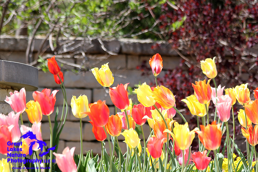 Tulips come in a multitude of varieties. This is one of my favorite floral captures from the Spring of 2009.