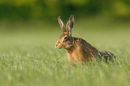 European Hare (Lepus europaeus) adult stretching in grass meadow, South Norfolk, UK. May.