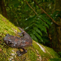 The Giant Palm Salamander, Bolitoglossa dofleini, whose forest home was protected through the creation of a new reserve in the Sierra Caral of Guatemala.