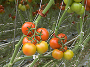 extreme close up of tomatoes in large commercial glasshouse