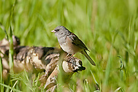 Dark Eyed Junco is a ground feeding bird eating grass seeds and weed seeds.