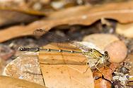 Blue-ringed Dancer (Argia apicalis) - female<br /> United States: Alabama: Tuscaloosa Co.<br /> Moundville Archaeological Park; Moundville<br /> 22-Apr-2017<br /> J.C. Abbott #2937